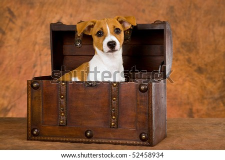 Jack Russell puppy in wooden treasure chest