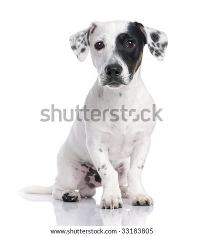 Jack russell puppy isolated and sitting in front of the camera