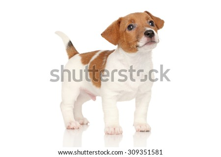 Jack Russell puppy on a white background - stock photo