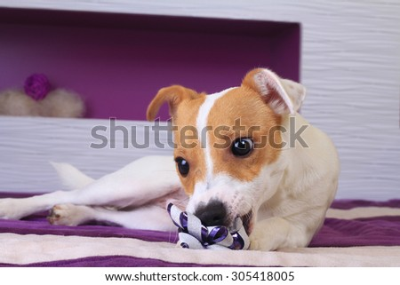 Jack Russell puppy on the bed