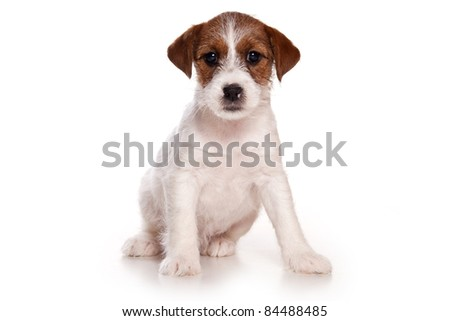 Jack Russell puppy on white - stock photo