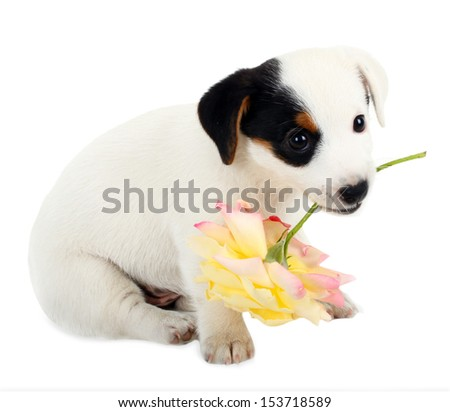 Jack Russell puppy with a big rose on white background - stock photo