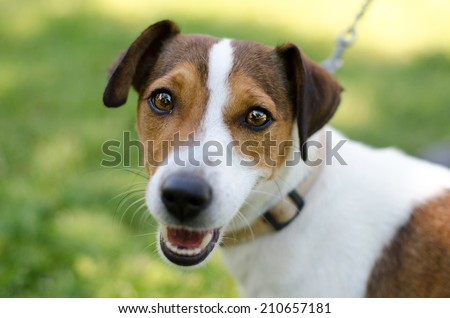 Jack Russell smiles - stock photo