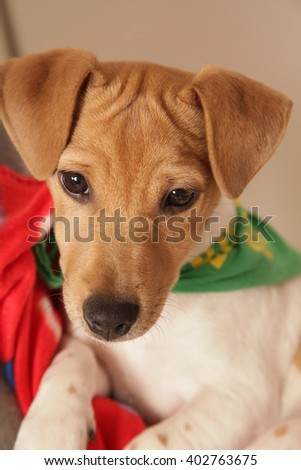 jack russell terriar, dog, sweet dog