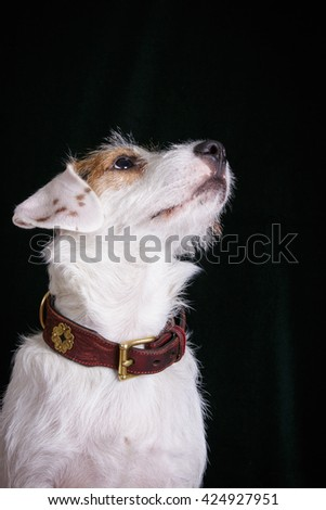 jack russell terrier adult dog on black dark background isolated looking up  - stock photo