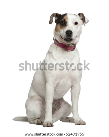 Jack Russell Terrier, 1 and a half years old, sitting in front of white background - stock photo