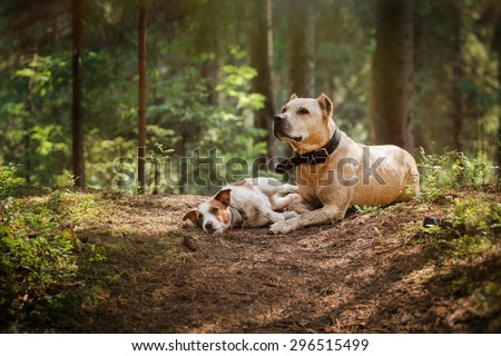 Jack Russell Terrier and a pit bull in the forest - stock photo