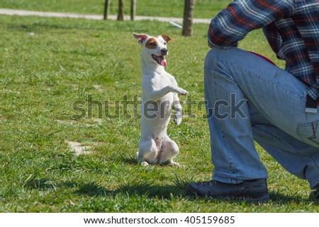 Jack Russell Terrier breed puppy with its trainer in the park - stock photo