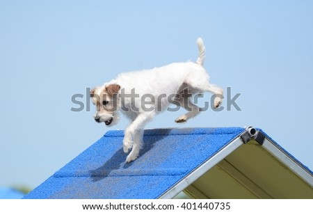 Jack Russell Terrier Climbing an A-frame at Dog Agility Trial - stock photo