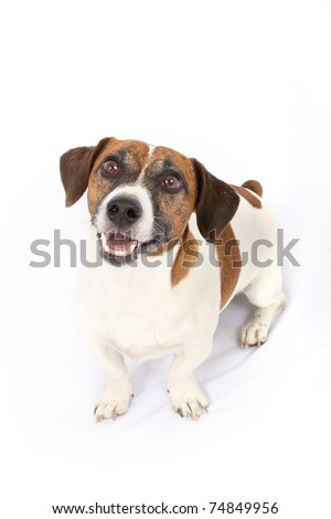 Jack Russell Terrier dog breed - stock photo