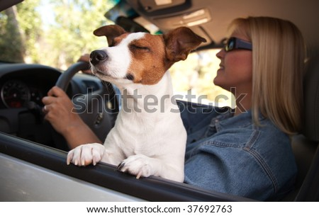 Jack Russell Terrier Dog Enjoying a Car Ride. - stock photo
