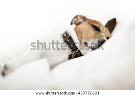 jack russell terrier dog  in bed, - stock photo