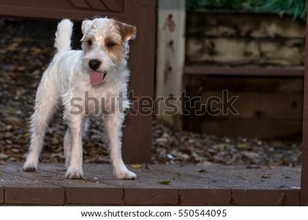 Jack Russell Terrier dog in park and trails