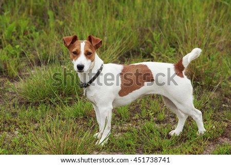 Jack Russell terrier dog is standing on a grass