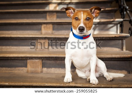 jack russell terrier dog left alone outside home  on the stairs, ready for a walk with owner - stock photo