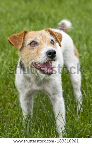 Jack Russell Terrier dog outdoors in green grass