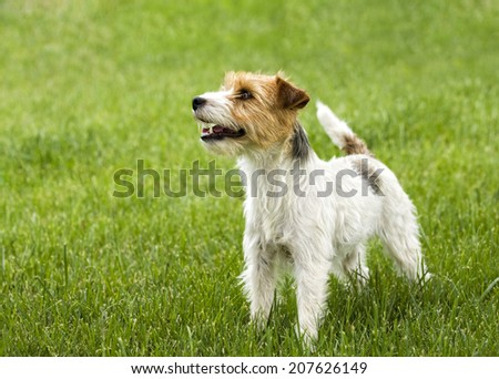 Jack Russell Terrier dog outdoors in green grass - stock photo