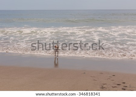 Jack Russell Terrier Dog Playing With The Waves Of The Pacific Ocean - stock photo
