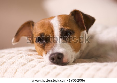 Jack Russell Terrier Dog Portrait on Pillow