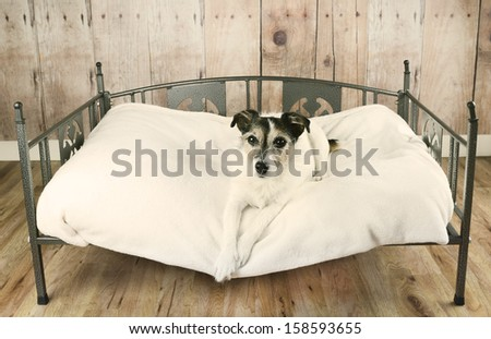 Jack Russell terrier dog relaxing in luxury dog bed - stock photo