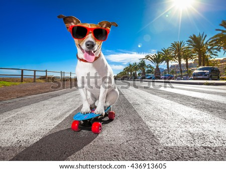 jack russell terrier dog  riding very fast with speed a skateboard as skater , with sunglasses in summer vacation close to the beach - stock photo