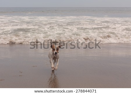 Jack Russell Terrier Dog Running At Full Speed On The Beach  - stock photo