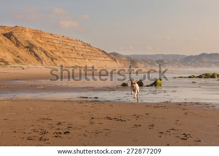 Jack Russell Terrier Dog Running At Full Speed On The Beach Of Pacific Ocean, South America  - stock photo