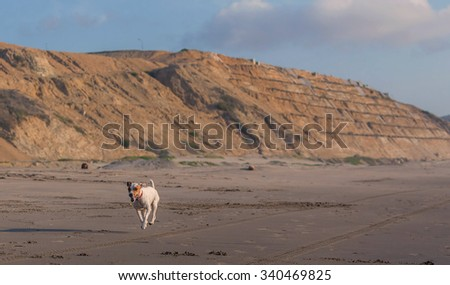 Jack Russell Terrier Dog Running With A Stone In His Mouth - stock photo