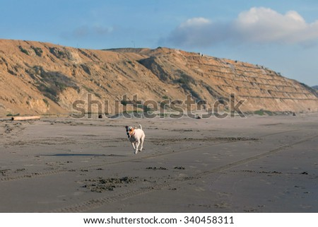 Jack Russell Terrier Dog Running With Speed After A Car On The Beach - stock photo