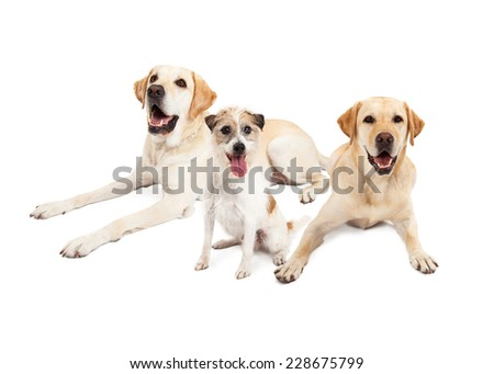 Jack Russell Terrier  Dog sitting with two Labrador Retriever Dogs.