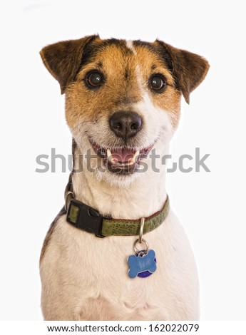 Jack Russell Terrier dog smiling with collar and tags head shot isolated on white