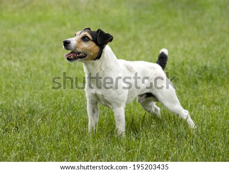 Jack Russell Terrier dog standing looking at owner waiting to play outdoors in green grass - stock photo