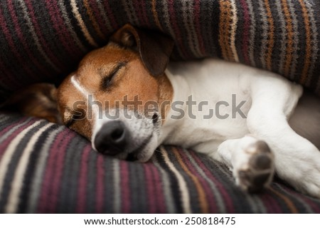 jack russell terrier dog under the blanket or sheets in bed , having a siesta and relaxing or sleeping - stock photo