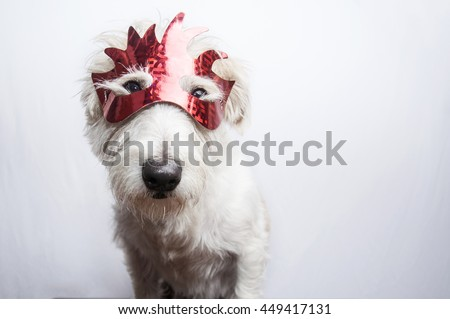 Jack Russell Terrier dog wearing red mask masquerade costume in observance celebration of carnival mardi gras looking at camera and ready to party have fun celebrate