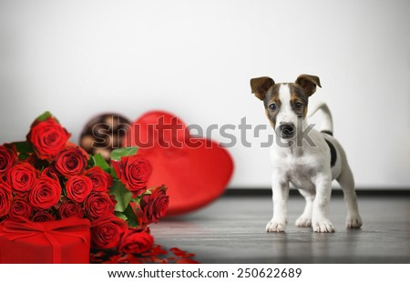 Jack Russell Terrier dog with gift for Valentines Day.  - stock photo