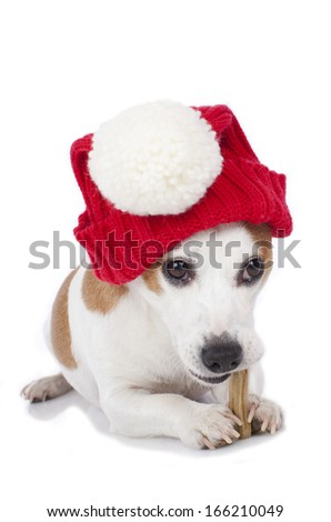 Jack Russell Terrier dog with xmas hat - stock photo