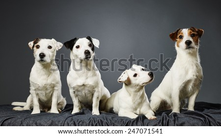Jack Russell terrier family portrait, adult male and female and two male puppies - studio shot and gray background - stock photo