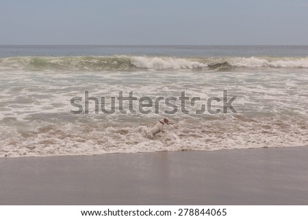 Jack Russell Terrier Female Dog Runs, Jumps And Plays In The Water Of Pacific Ocean  - stock photo