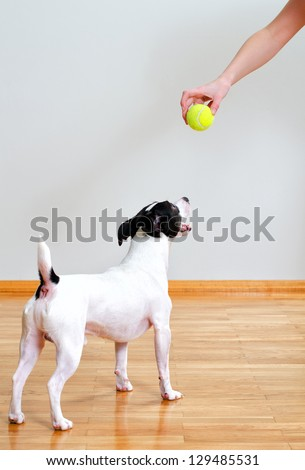 Jack russell terrier going to play with ball - stock photo
