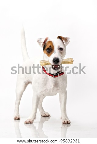 Jack russell terrier holding a bone on white - stock photo