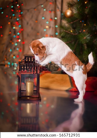 Jack Russell Terrier, holiday, New Year, interior, christmas - stock photo