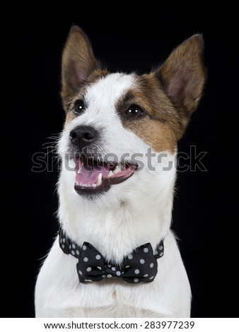 Jack Russell Terrier in a studio photoshoot. The dog is wearing a black bow. Image has a black background.