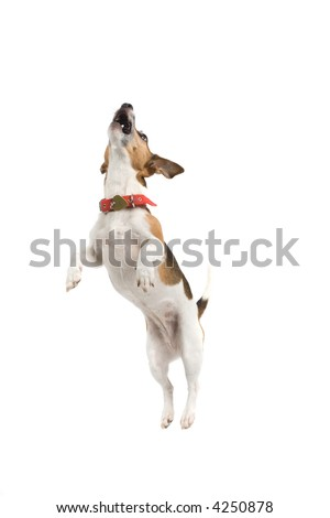 Jack Russell Terrier jumping sky high - stock photo