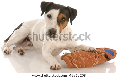 jack russell terrier laying down with baseball glove with reflection on white background - stock photo