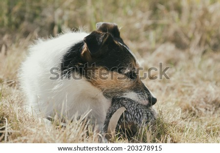 Jack Russell terrier laying in grass and holding a soft toy rat - stock photo