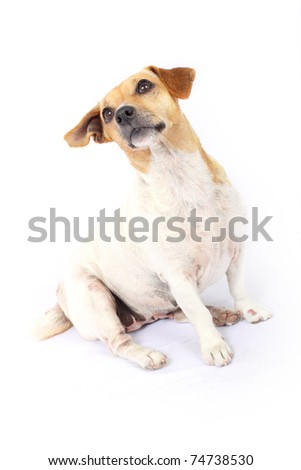 Jack Russell Terrier listening eagerly - stock photo