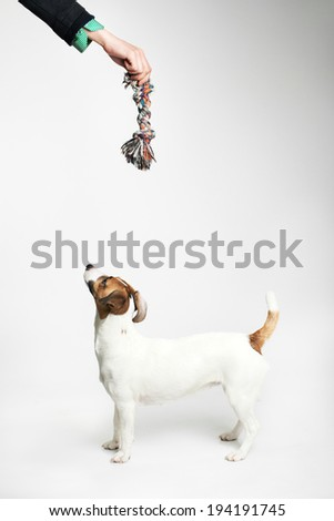 Jack Russell Terrier looking to up. Grey background - stock photo