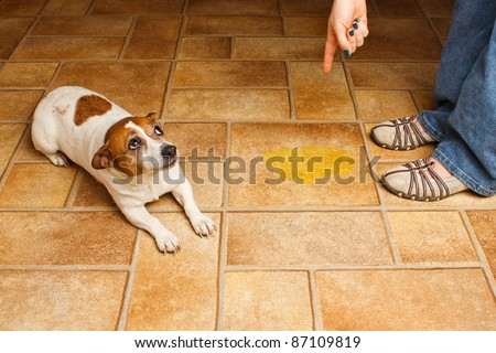 Jack Russell Terrier lying beside it's accident while being scolded - stock photo