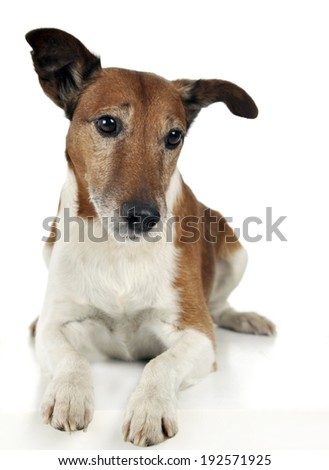 Jack Russell Terrier lying in the studio - stock photo