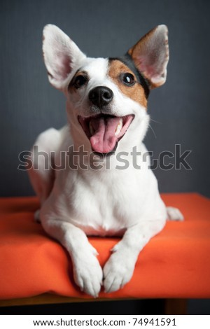 Jack russell terrier lying on black and orange background